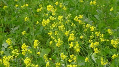 Vinci-Socos détruit un champ de moutarde près d' Ittenheim, abat un noyer et assèche le Musaubaechel