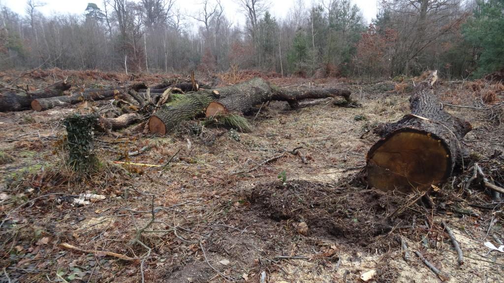 GCO : La Forêt du Krittwald est en train d'être abattue